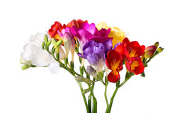 Vibrant freesias bouquet isolated on white background. Close up Royalty Free Stock Photo