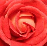Vibrant fresh red rose close up. Rose head macro photo background. Template or mock up. Top view stock images