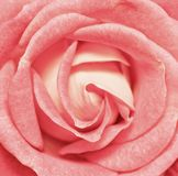 Vibrant fresh red rose close up. Rose head macro photo background. Template or mock up. Top view royalty free stock images