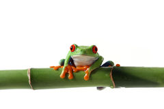 Vibrant Frog. Curious Red-Eyed Tree Frog gripping bamboo and staring at the camera Stock Image