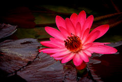 Vibrant full open hybrid water lily Royalty Free Stock Photo