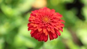 Vibrant Garden Flower HD de Voorraadlengte van Zinnia Lilliput stock videobeelden