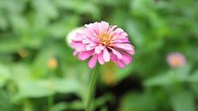 Vibrant Garden Flower HD de Voorraadlengte van Zinnia Lilliput stock video