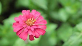 Vibrant Garden Flower HD de Voorraadlengte van Zinnia Lilliput stock footage