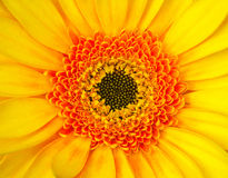 Vibrant Gerbera Stock Photos