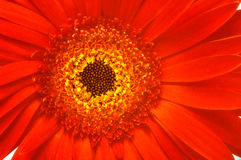 Free Vibrant Gerbera Royalty Free Stock Photos - 6709668