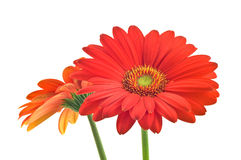 Vibrant Gerbera Daisy. Vibrant red and orange gerbera daisy closeup Stock Photography
