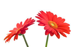 Vibrant Gerbera Daisy. Vibrant red and orange gerbera daisy isolated on white background Stock Photo