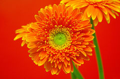 Vibrant Gerbera Flowers. Beautiful and vibrant gerbera flowers with red background Royalty Free Stock Images