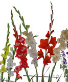 Vibrant gladiolus flowers Royalty Free Stock Images