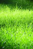 Vibrant Grass in Soft Sunshine royalty free stock images