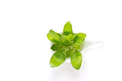 Vibrant green basil in white modern spoon on white background Stock Photo