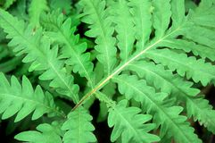 Vibrant green fern background Stock Image