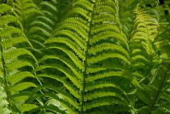Vibrant green fern fronds, close-up royalty free stock image