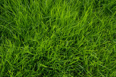Vibrant green grass. Close up of green grass Stock Photo