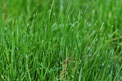 Vibrant green grass close-up. In summer day Stock Images