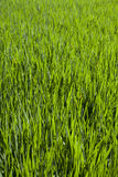 Vibrant green grass detail Stock Photography