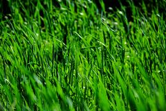 Vibrant Green Grass. In a Kansas Field Royalty Free Stock Image