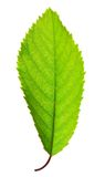 Vibrant green leaf Royalty Free Stock Photos