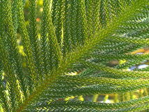 Vibrant Green Leaves of Cook Pine Tree in the Afternoon Sunlight Stock Photo