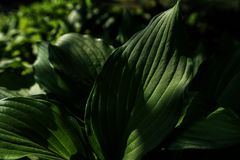 Green leaf. The vibrant green leaves in the sun Stock Photos