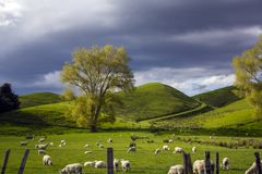 Green meadows with grazing sheep and dramatic cloudy sky. Vibrant Green meadows with grazing sheep and dramatic cloudy sky. Stunning landscape Royalty Free Stock Images