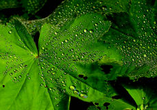 Vibrant Green Oak leaf covered in water droplets Royalty Free Stock Photo