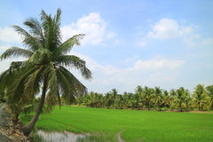 Vibrant Green Paddy Field with Coconut Trees under Bright Blue Sky. Thailand Royalty Free Stock Photo