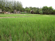 Vibrant Green Paddy Field with Thai Traditional Style Rustic Houses in Nakhon Ratchasima province Royalty Free Stock Photography