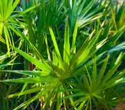 Palm bushes stock image