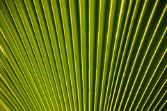 Vibrant green palm tree leaf royalty free stock photo