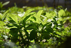 Vibrant green plant leaves Royalty Free Stock Images