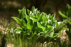 Vibrant green plant leaves in the forest Royalty Free Stock Image
