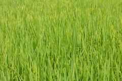 Vibrant Green Rice Paddy Field Central Vietnam. royalty free stock photography