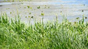 Vibrant green sedge, reed and grass swaying in wind on background of river or lake. With yellow water lillies far off stock footage