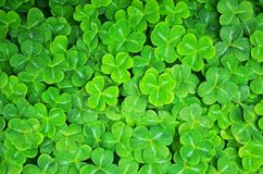Shamrock pattern and texture Stock Image