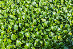 Vibrant green water hyacinth Royalty Free Stock Images