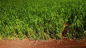 Vibrant green wheat field with red earth. Video of vibrant green wheat field with red earth stock video