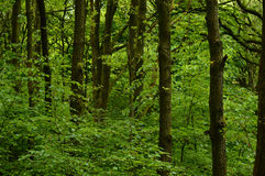 Vibrant green woodland Royalty Free Stock Image