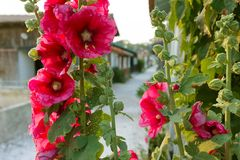 Vibrant Hollyhock flowers Royalty Free Stock Photography