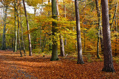 Vibrant image of autumn forest. At sunset Royalty Free Stock Photo