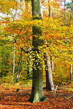 Vibrant image of autumn forest. At sunset Stock Photography