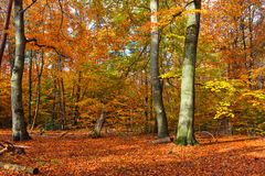 Vibrant image of autumn forest. At sunset Stock Image