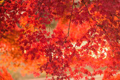 Vibrant Japanese Autumn Maple leaves Landscape with blurred background Royalty Free Stock Image
