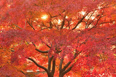 Vibrant Japanese Autumn Maple leaves Landscape with blurred background. In horizontal frame Stock Image