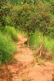 Vibrant Jungle Trail. A vibrant pathway through a jungle forest in Uganda Royalty Free Stock Image
