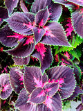 Vibrant leaves. Bright colorful pink, purple and green leaves Royalty Free Stock Photography