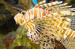 Vibrant lionfish. A lionfish in the a colorful ocean Stock Photo