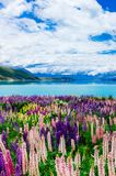 Vibrant lupins by Lake Tekapo. Stunning lupins with vibrant colors by the shoreline of the scenic lake Tekapo Stock Image
