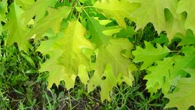 Vibrant, lush, green foliage of northern red oak tree stirred gently by breeze stock video footage